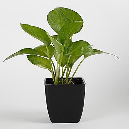 Money Plant in Black Imported Plastic Pot:Outdoor Plants