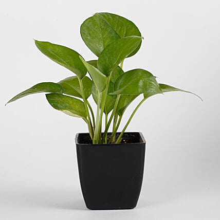 Money Plant in Black Imported Plastic Pot:Plants for Living Room