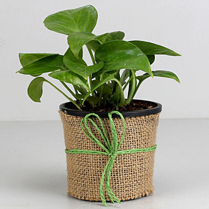 Money Plant Pot   for Valentine:Money Plants