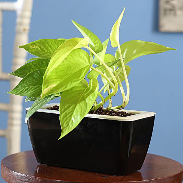 Buy Online Money Plant