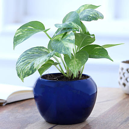 Online Money Plant In Blue Metal Pot