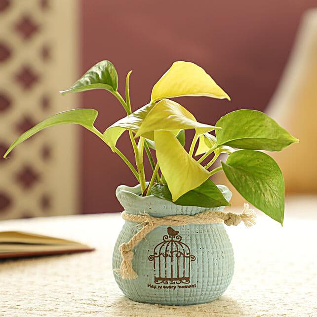 Money Plant In Blue Pot:Garden Accessories