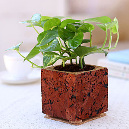 Online Money Plant In Cork Planter:Cork Planters