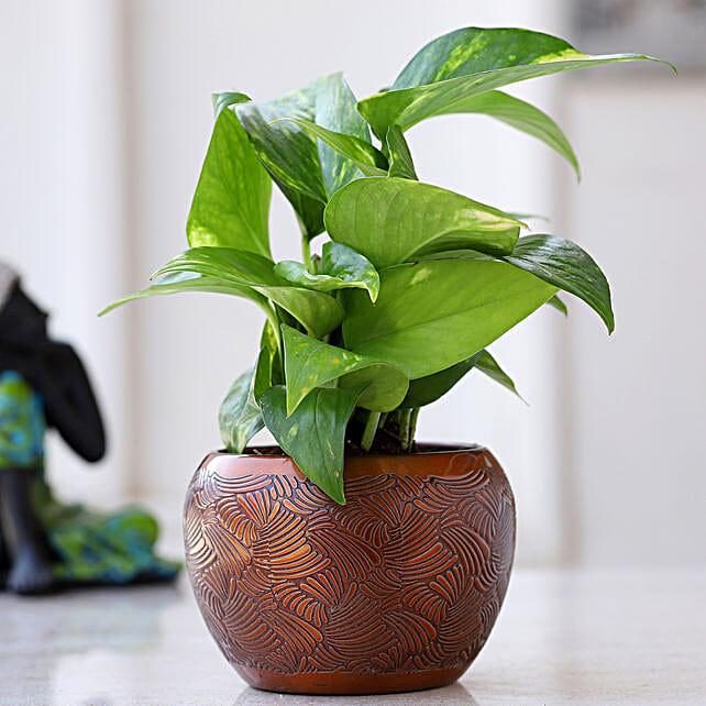 Money Plant In Brown Pattern Pot