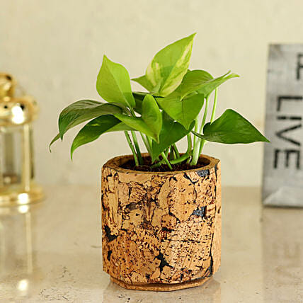 Money Plant In Pot Online:Cork Planters