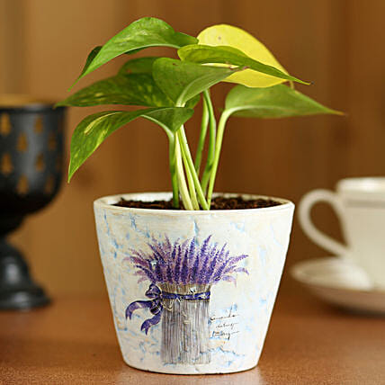 Money Plant In Purple Ceramic Pot:Ceramic Planters