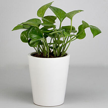 Money Plant for Valentine