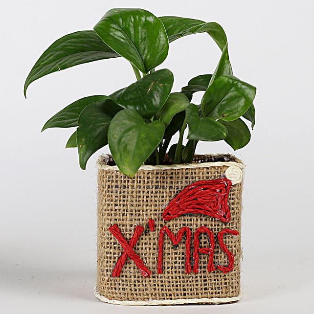 money plant for Christmas