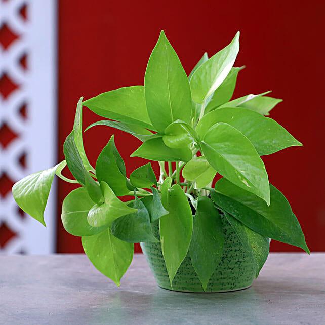 Online Money plant In Green Pot