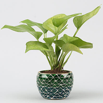 online money plant with design metal pot:Money Plants