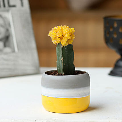 Moon Cactus in Ceramic Pot