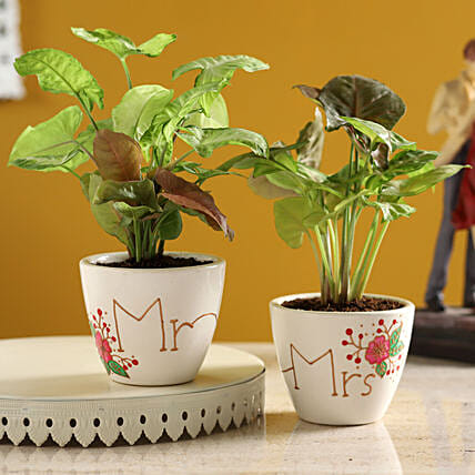 Mr & Mrs Syngonium Plant Set In Ceramic Pots