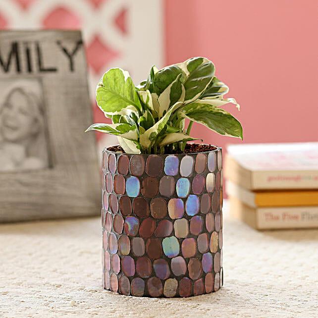 Money Plant in Mosaic Pot