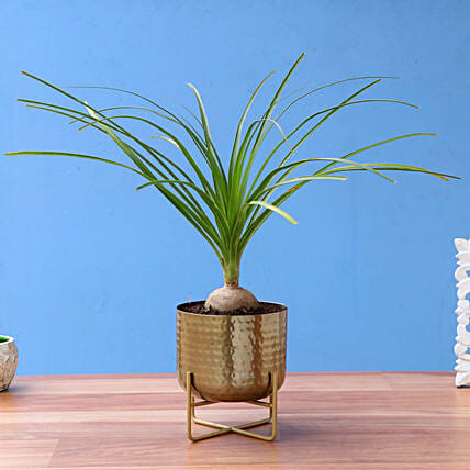 Nolina Palm Plant In Beautiful Brass Pot