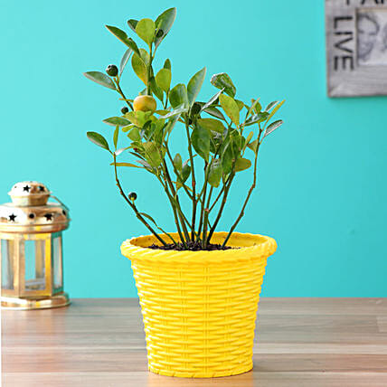Orange Dwarf Plant With Yellow Shining Plastic Pot