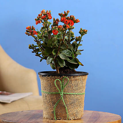 Orange Kalanchoe In Black Nursery Pot Hand Delivery
