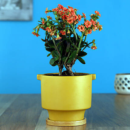 Orange Kalanchoe Plant In Yellow Pot With Wooden Plate