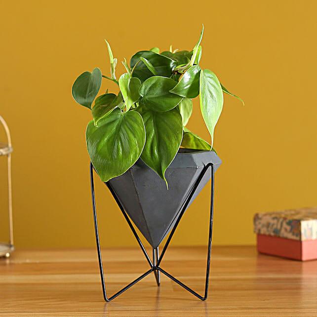 Oxycardium Plant In Black Stand Ceramic Pot