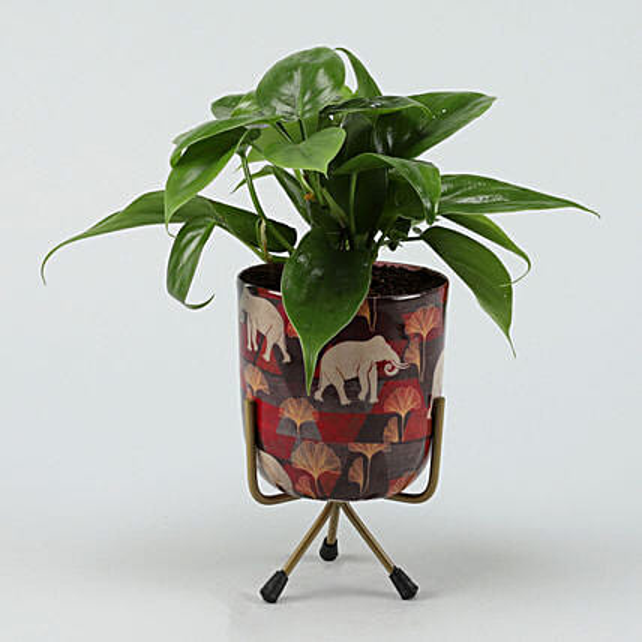 Oxycardium Plant in Home Décor Pot