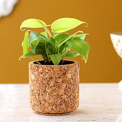 Oxycardium Plant In Pipe Shape Cork Pot