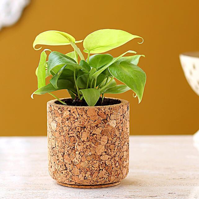 Oxycardium Plant In Pipe Shape Cork Pot