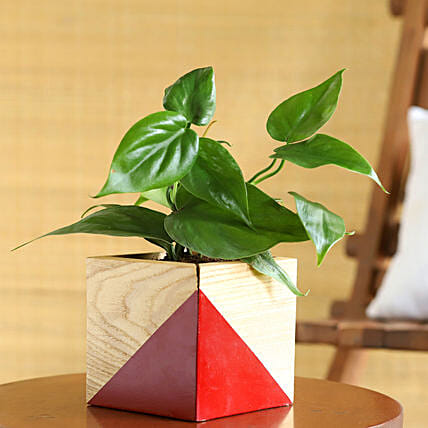 Oxycardium Plant In Red Natural Wood Square Pot
