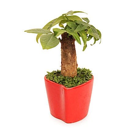 Pachira In Pot-single head plant in ceramic vase