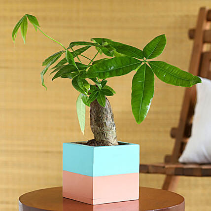 Pachira Plant In Blue N Pink Wooden Square Pot:Bonsai Tree