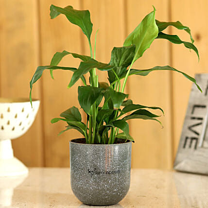 home friendly plant with planter