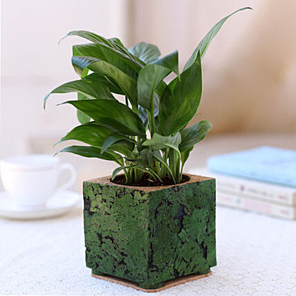 Indoor Plant In Cork Planter