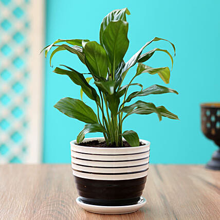 Order Peace Lily Plant