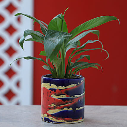 Online Peace Lily In Colorful Pot:Flowering Plants For Valentine's Day