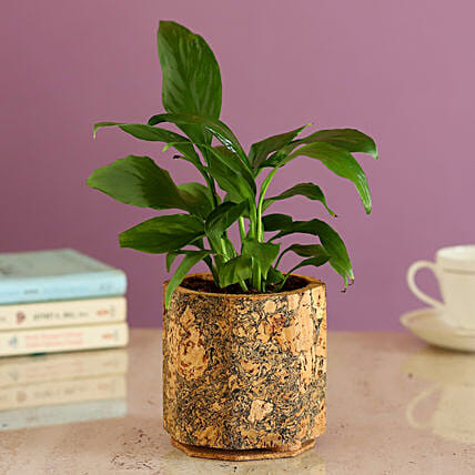 Peace Lily Plant In Cork Pot Online