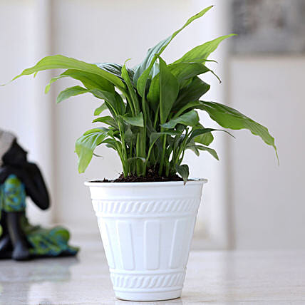 Peace Lily Plant In Matte White Iron Embossed Pot