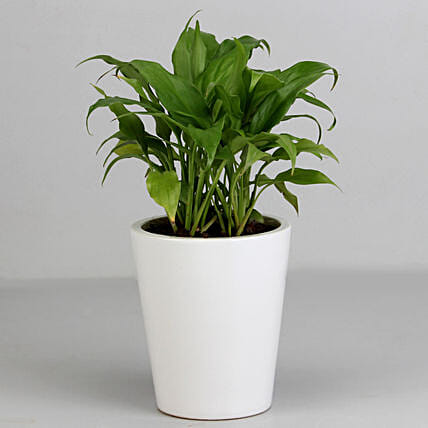 Lily Pot Plant for Valentine Gifting:Flowering Plants