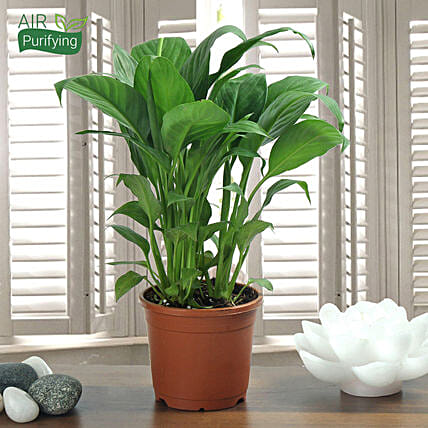 Peace Lily plant in a vase:Spiritual and Vastu Plants