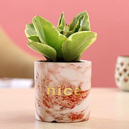 Peperomia Plant In Brown White Ceramic Pot