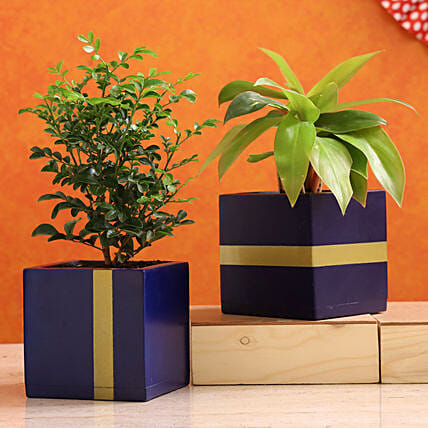Philodendron Murraya Plant Combo In Mango Wood Planters:Buy Air Purifying Plants