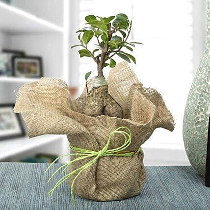 Ficus ginseng bonsai plant in a plastic pot wrapped with natural jute and green raffia:Exotic Plants