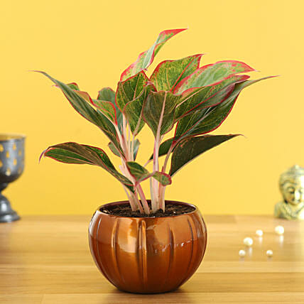 pink aglaonema plant in copper pot online