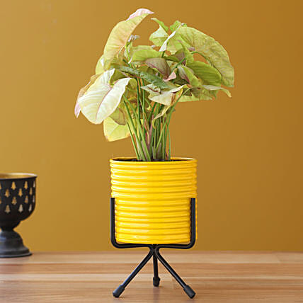 Pink Syngonium Plant In Yellow Pot With Stand:Home Decor for Wedding