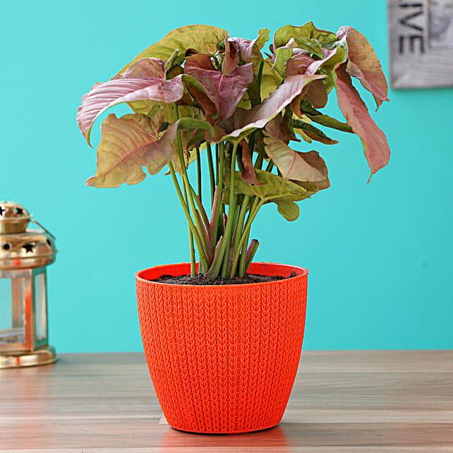 Pink Syngonium Plant With Turkey Plastic Pot
