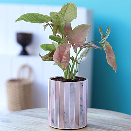 Pink Syngonium Potted Plant In Mosaic Pot