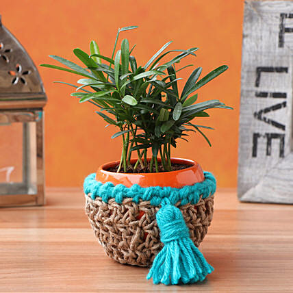 Podocarpus Plant In Elegant Blue Jute Cover Pot:Send Plants for Birthday
