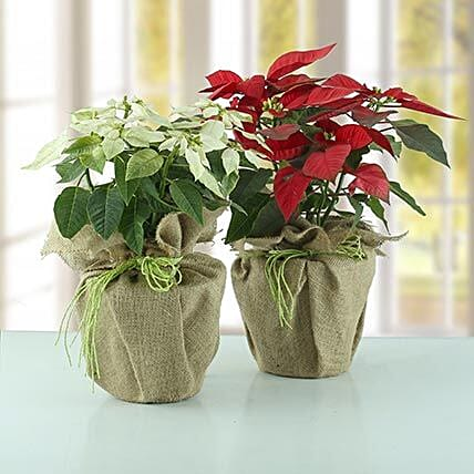 Red and white ponsettia plant wrapped in jute:Plant Combos
