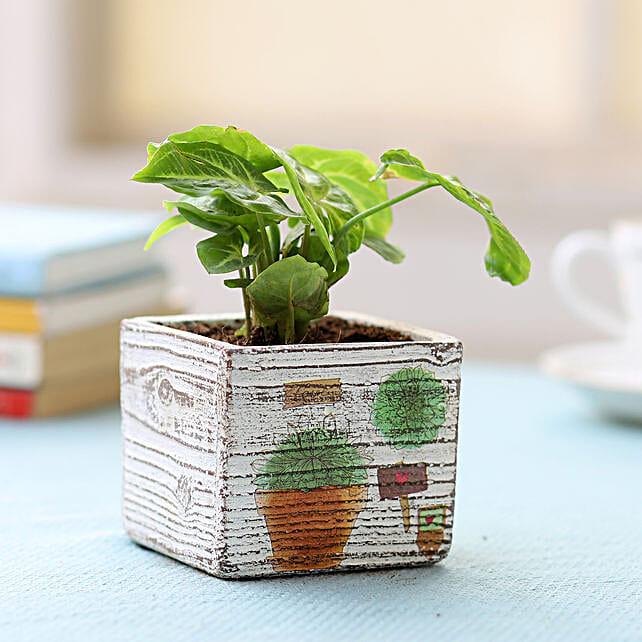 Pot of Syngonium Plant