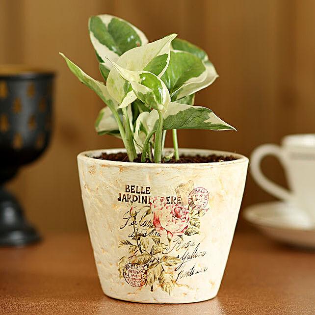 Pothos Money Plant In Ceramic Pot:Garden Accessories