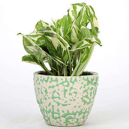 Online Pothos Plant For Mothers Day