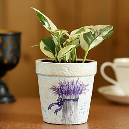 Pothos Plant In Purple Ceramic Pot