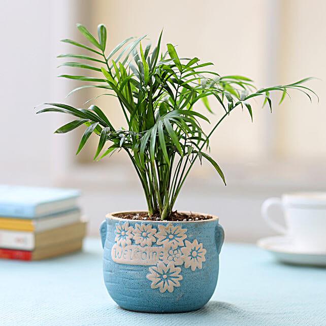 Potted Chamaedorea Palm Plant